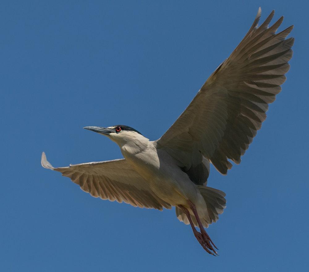 Night Heron Above
