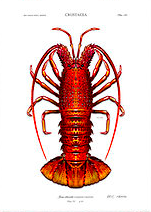 FA Crayfish.png
