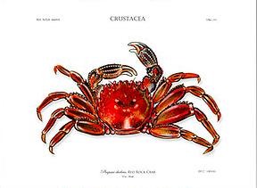FA Rock Crab.png