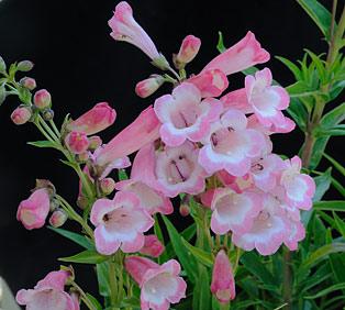 Penstemon-glox-Apple-Blossom (1)