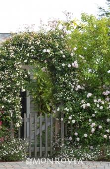 Rosa polyantha climbing cecile brunnere