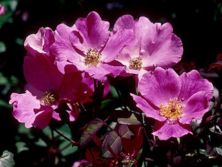 Rosa-Nearly-Wild