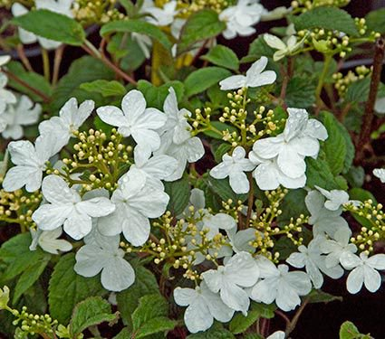 Viburnum plicatum v. tom. Summer Snowflake
