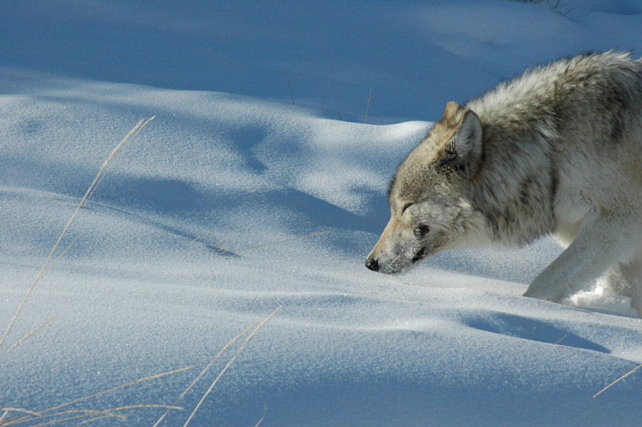 wolf-in-negative-20-degrees.jpg