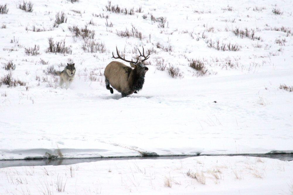 slides-wolf-elk.jpg