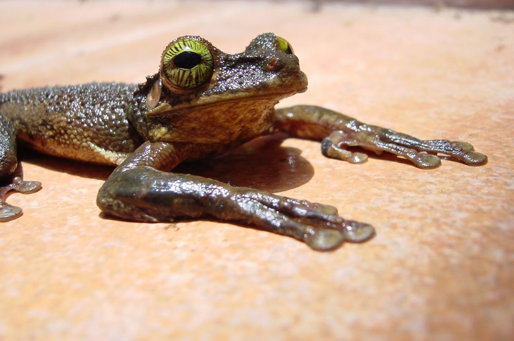 slides-frog-taurinus.jpg