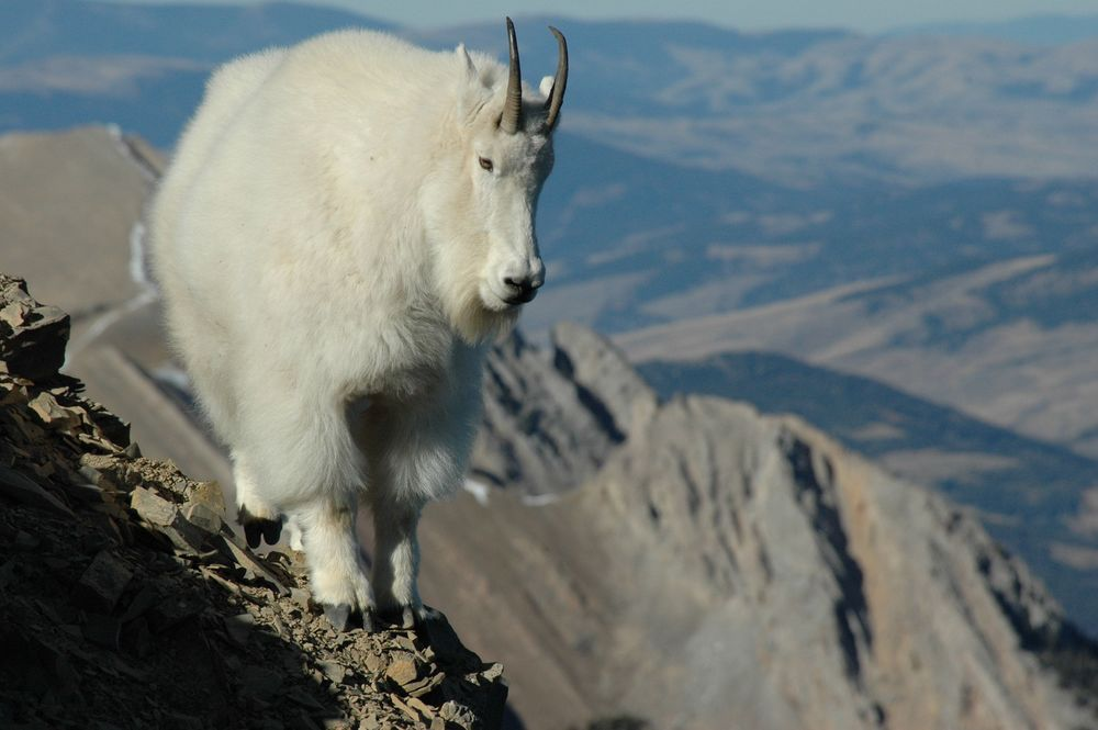 slides-mountaingoat.jpg