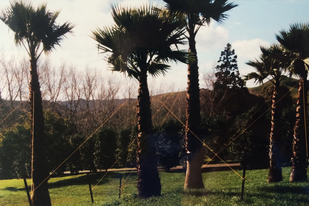 Palms against the backdrop of now mature specimen trees