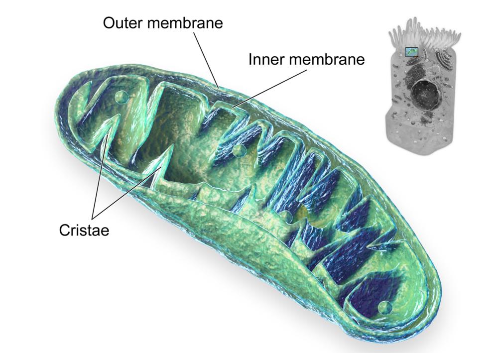 Blausen_0644_Mitochondria.png