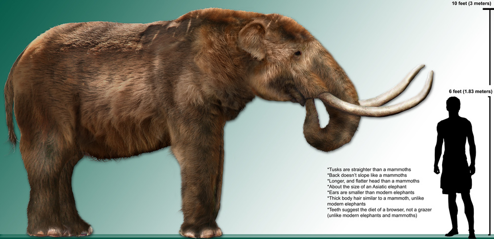 The great ancestors of modern day elephants - mastodons!