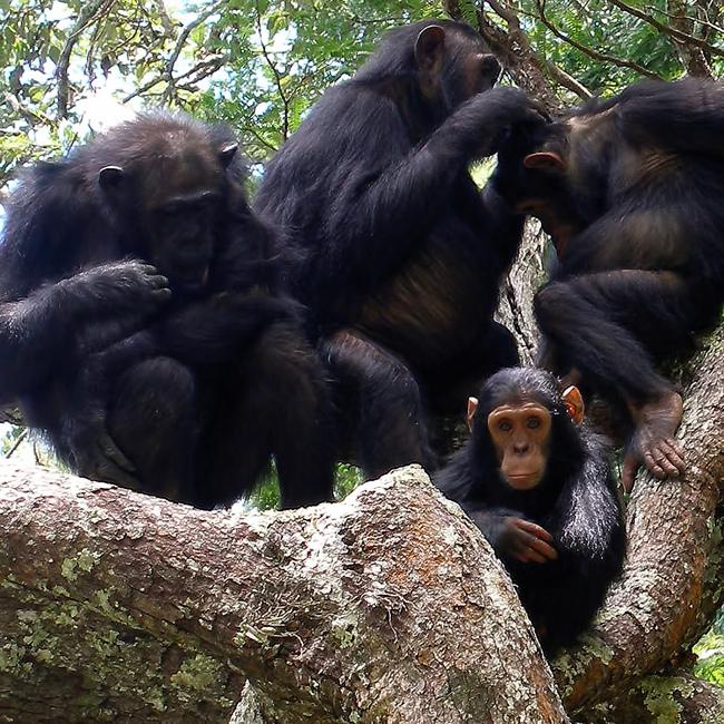 chimpbrain