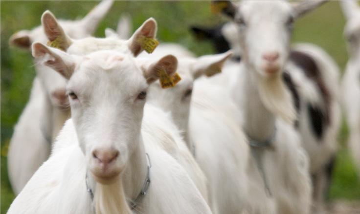 På   Aabrekk Gard   leikar geitene i vill natur under brekledde toppar i Brenndalen. Dette var ein inspirasjon i utviklinga av merkanamna Brenndøl og Lykle.
