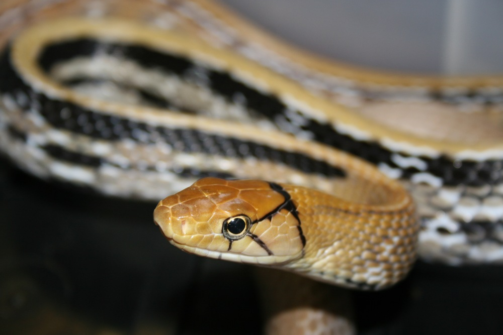 Radiated ratsnake