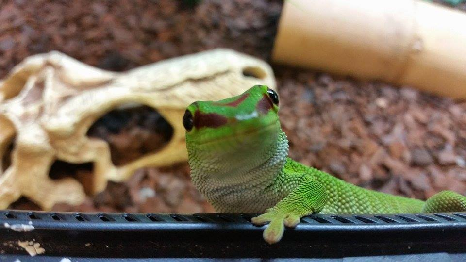 Giant Madagascan Day Gecko (6).jpg