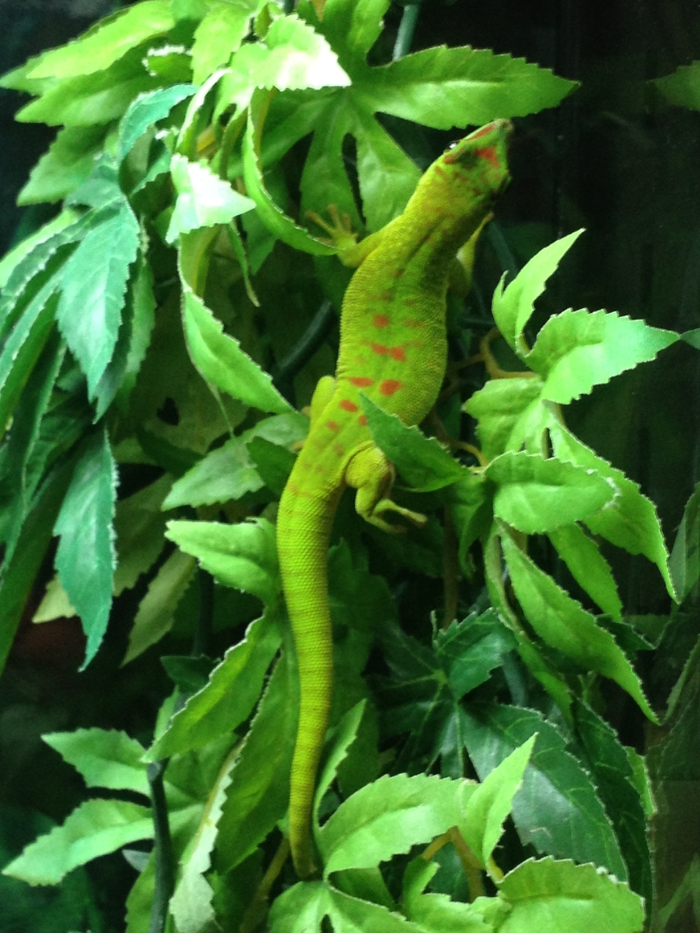 Giant Madagascan Day Gecko (10).JPG