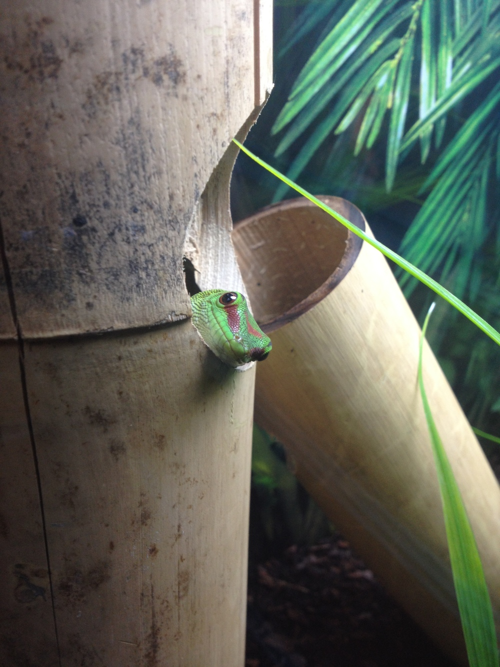 Giant Madagascan Day Gecko (14).JPG