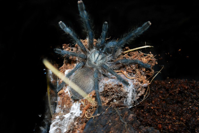 Monocentropus balfouri male.jpg