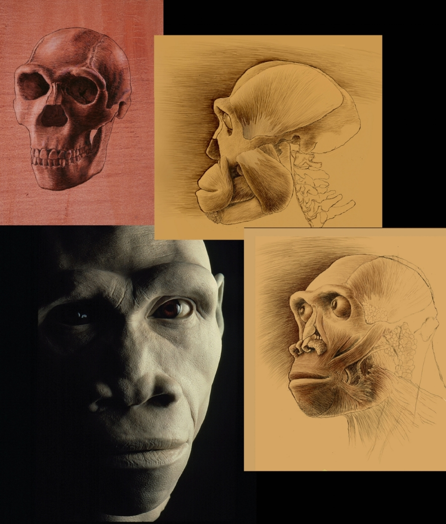 Homo erectus multiple, done in pencil and clay.