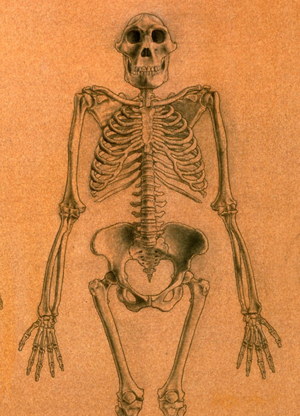 A. africanus  male skeleton based on Stw 431, Sts 7 and Stw 505. Created for  National Geographic Magazine . Graphite on colored board.