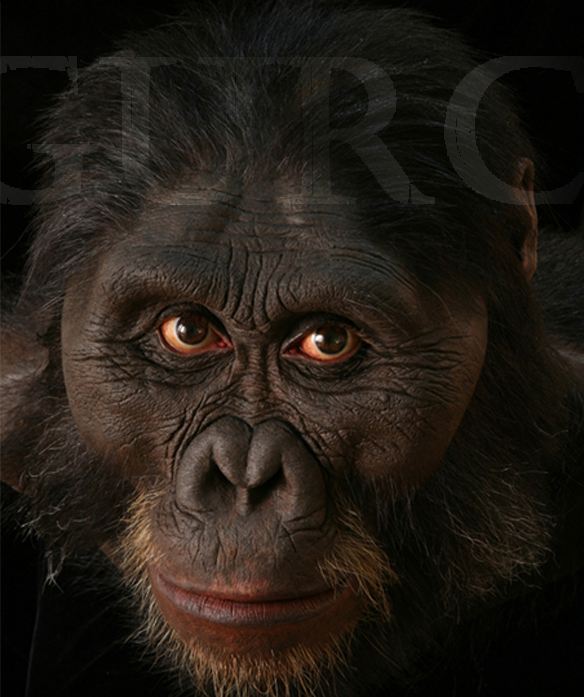 Img 958 Australopithecus afarensis male based on AL 444 skull.jpg