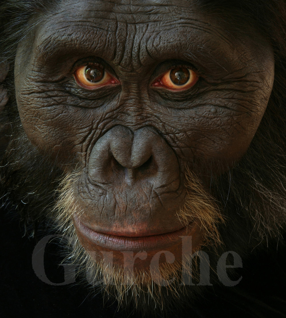 Img 980 Australopithecus afarensis male based on AL 444 skull.jpg