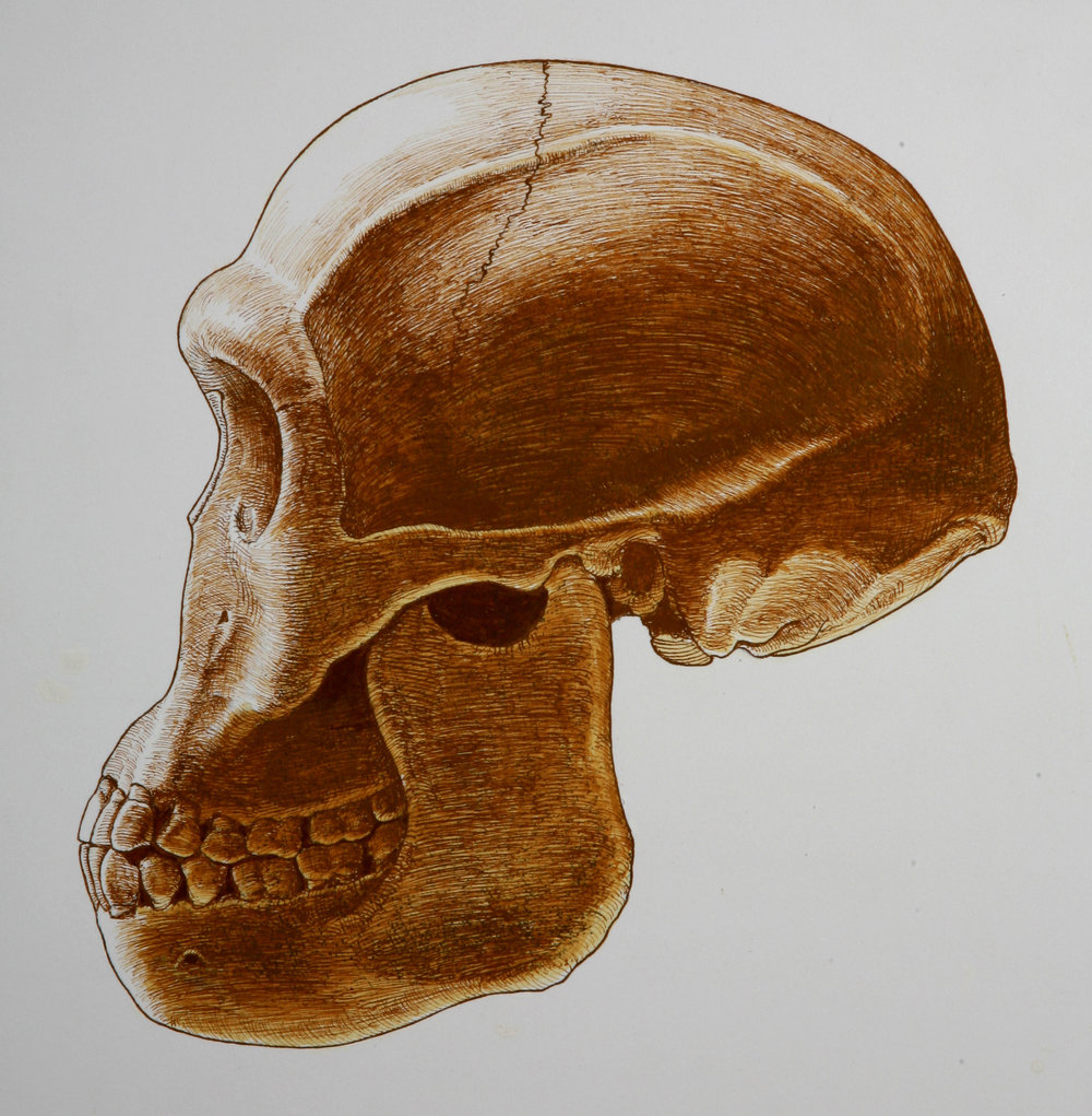 Restored skull of  Homo habilis , based on ER 1813. Mandible based on OH 13. Pen and ink.