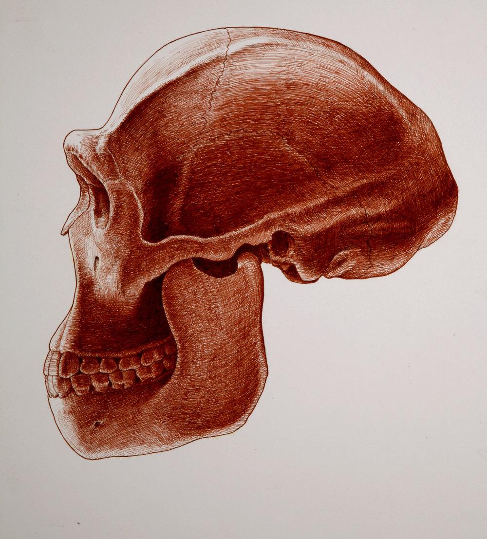 ER 3733 skull ( Homo erectus )