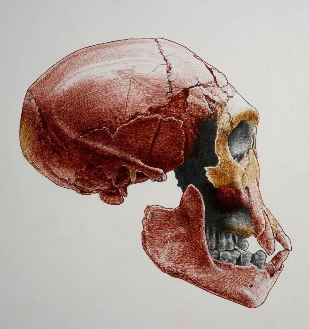 Skull 3 ( Homo erectus ) from Dmanisi.