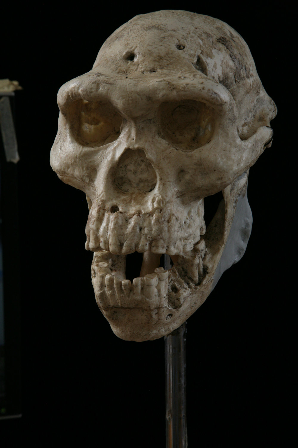 Skull 5 from Dmanisi (restored cast).