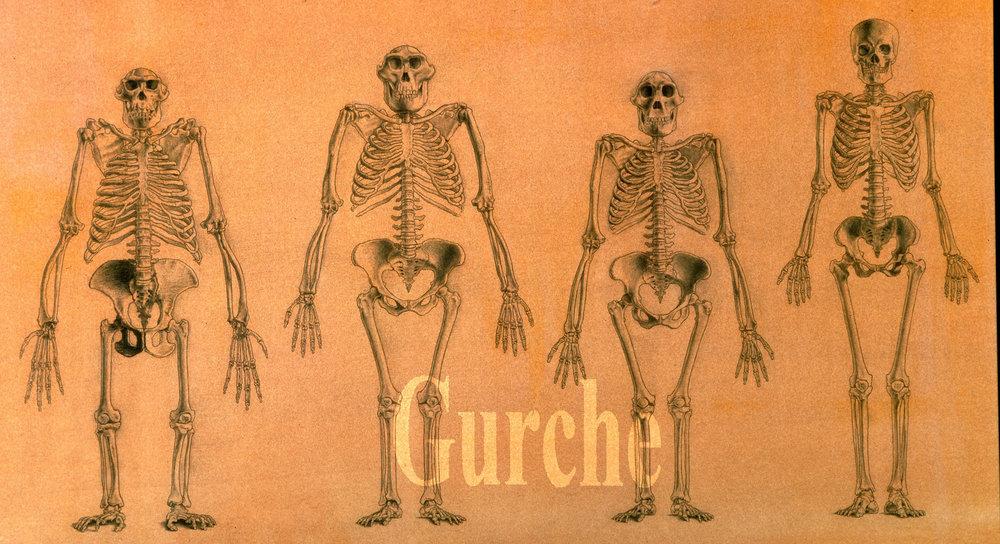 Skeletons of chimpanzee,  Australopithecus afarensis ,  Australopithecus africanus  and  Homo sapiens  males.