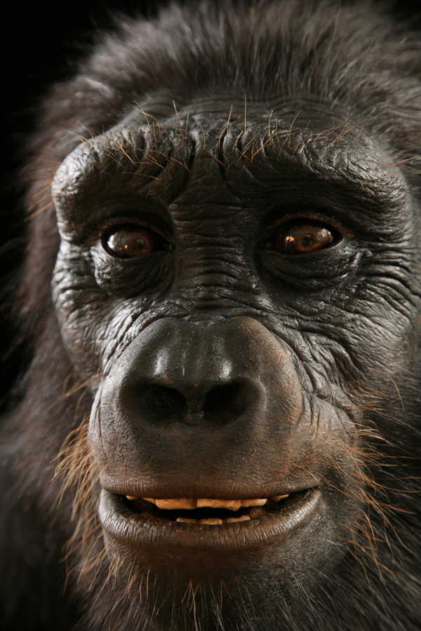 Close-up of Sahelanthropus reconstruction