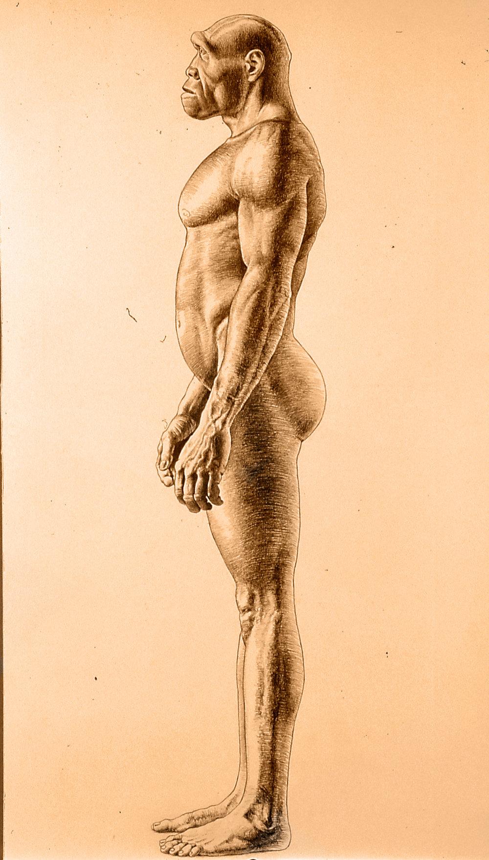 Homo erectus male.