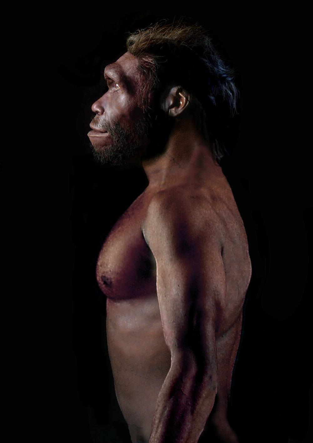 Homo erectus  adult male.