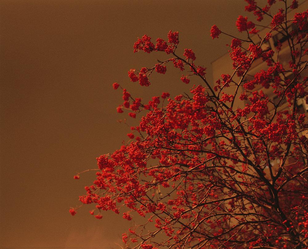 William+Green+Sorbus.jpg