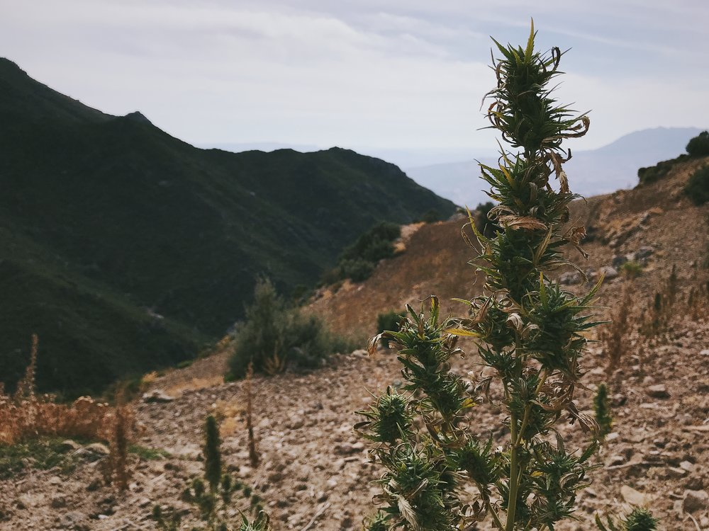 A marijuana plant sits on the side of a popular hiking trail