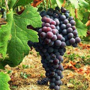 vigneto vigna uva agricoltura vino 2-300x300.jpg