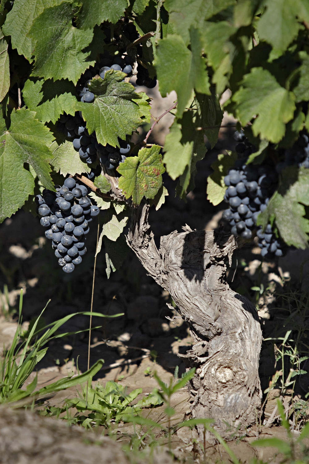 Photo_Ksana_Vineyard01.jpg
