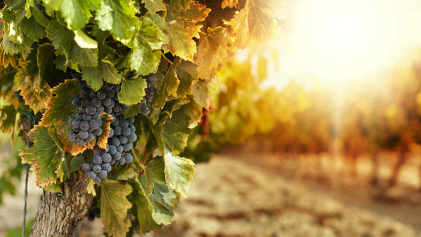 vineyard-738-ss-deyan-georgiev-crop-600x338.jpg