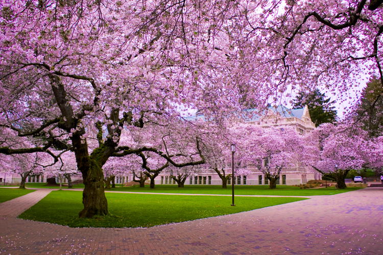 cherry blossom trees  changing the look of japan in springtime, Natural flower