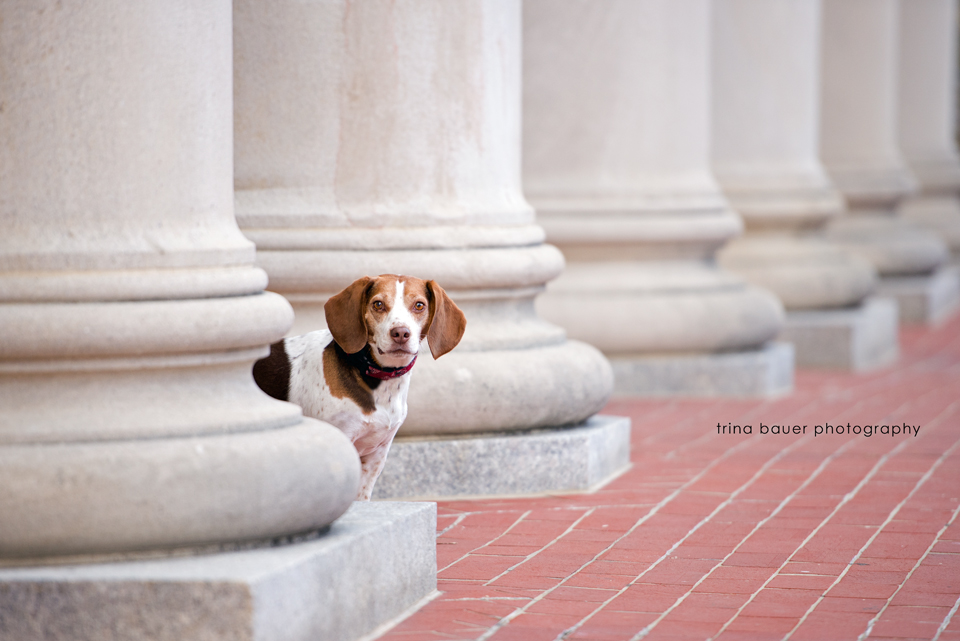 trina.bauer.photography.penn.state.dog.beagle