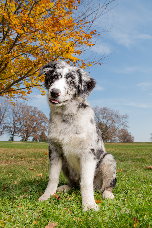 trina-bauer-photography-australian-shepherd-puppy
