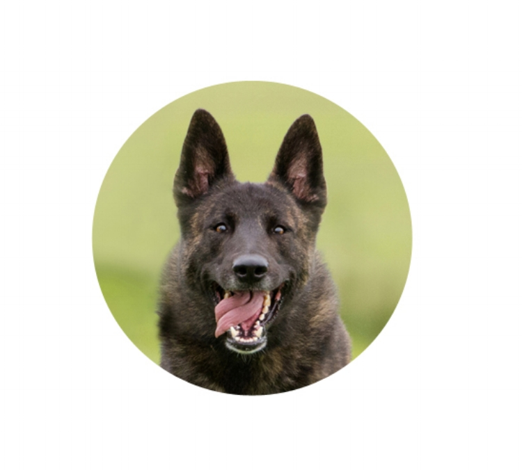dutch.shepherd.running.tongue.out
