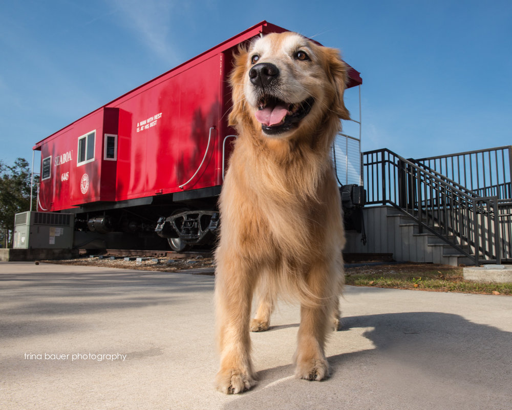 golden.retriever.red.caboose.venice.florida