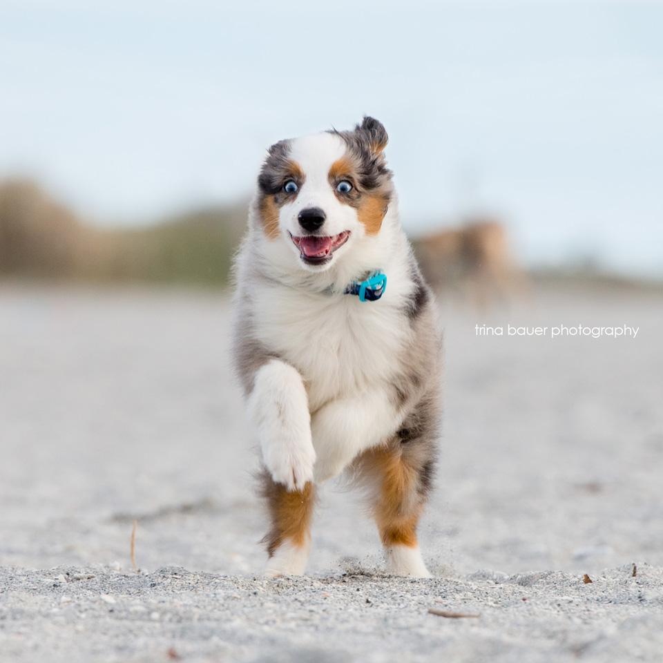 australian-shepherd-puppy-running
