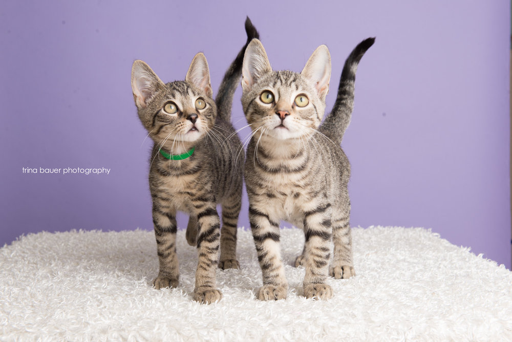 trina-bauer-photography-kittens-gray-tabby