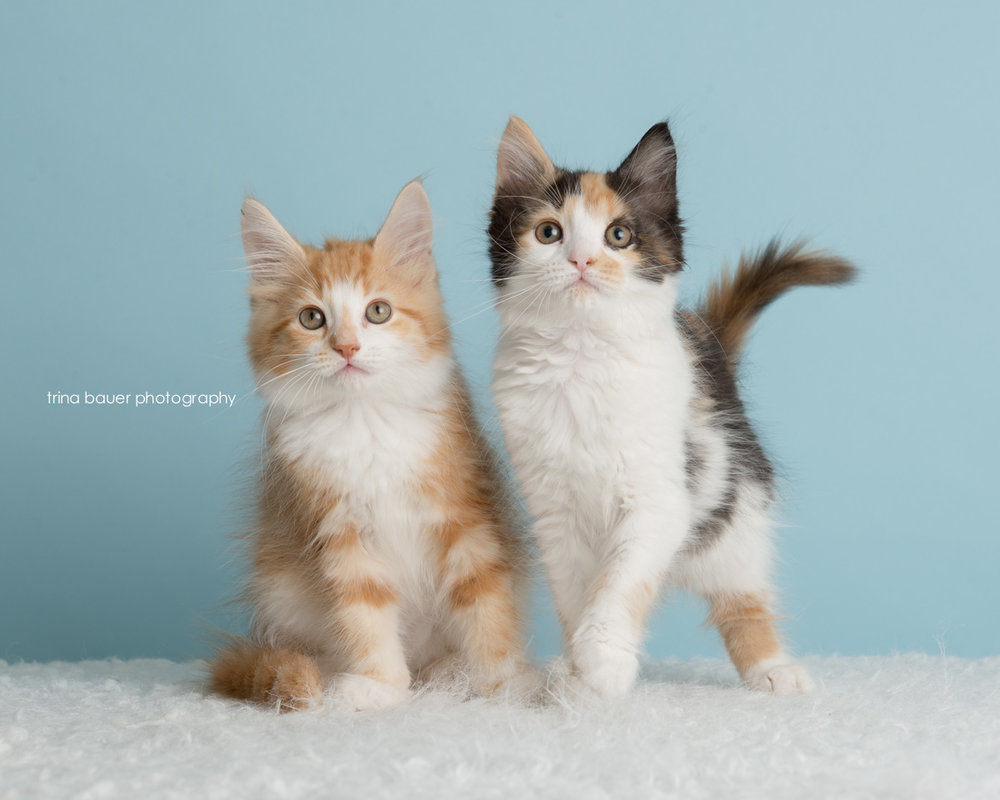 kittens-adoptables-trina-bauer-photography