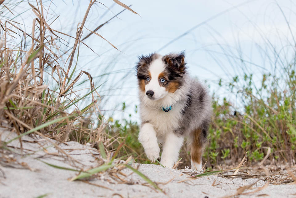 Wilson.puppy.grass.dunes.sky.walking