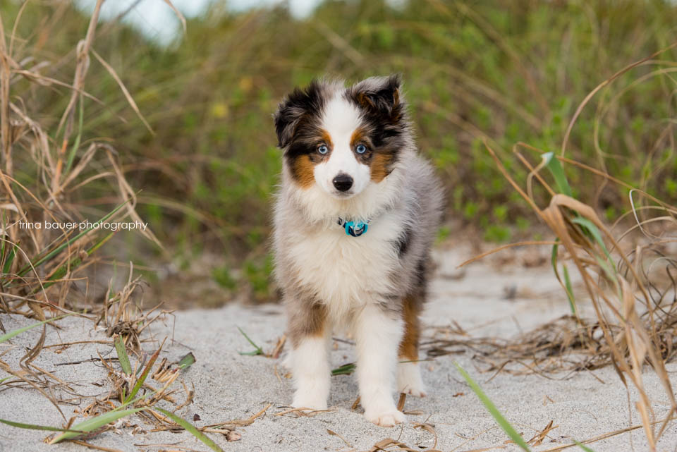 Wilson.puppy.grass.dunes