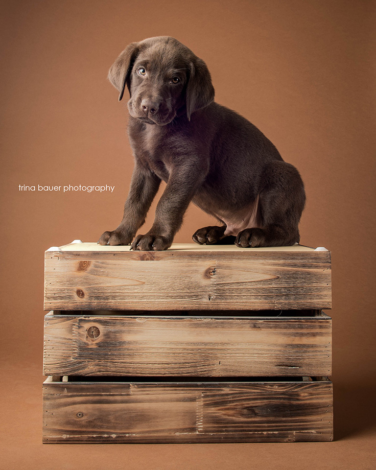 chocolate.labrador.puppy