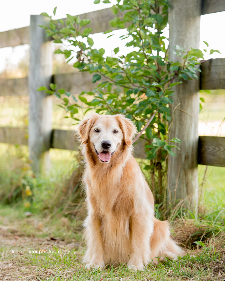golden.retriever.fall.fence